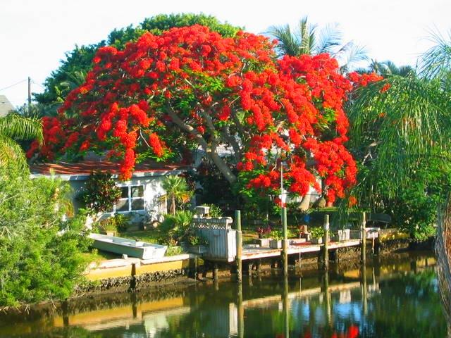Florida Cracker under Poinciana tree