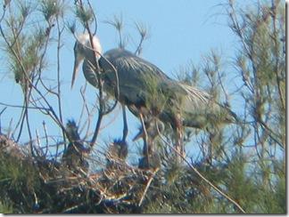Great Blue Herons with 3 chicks