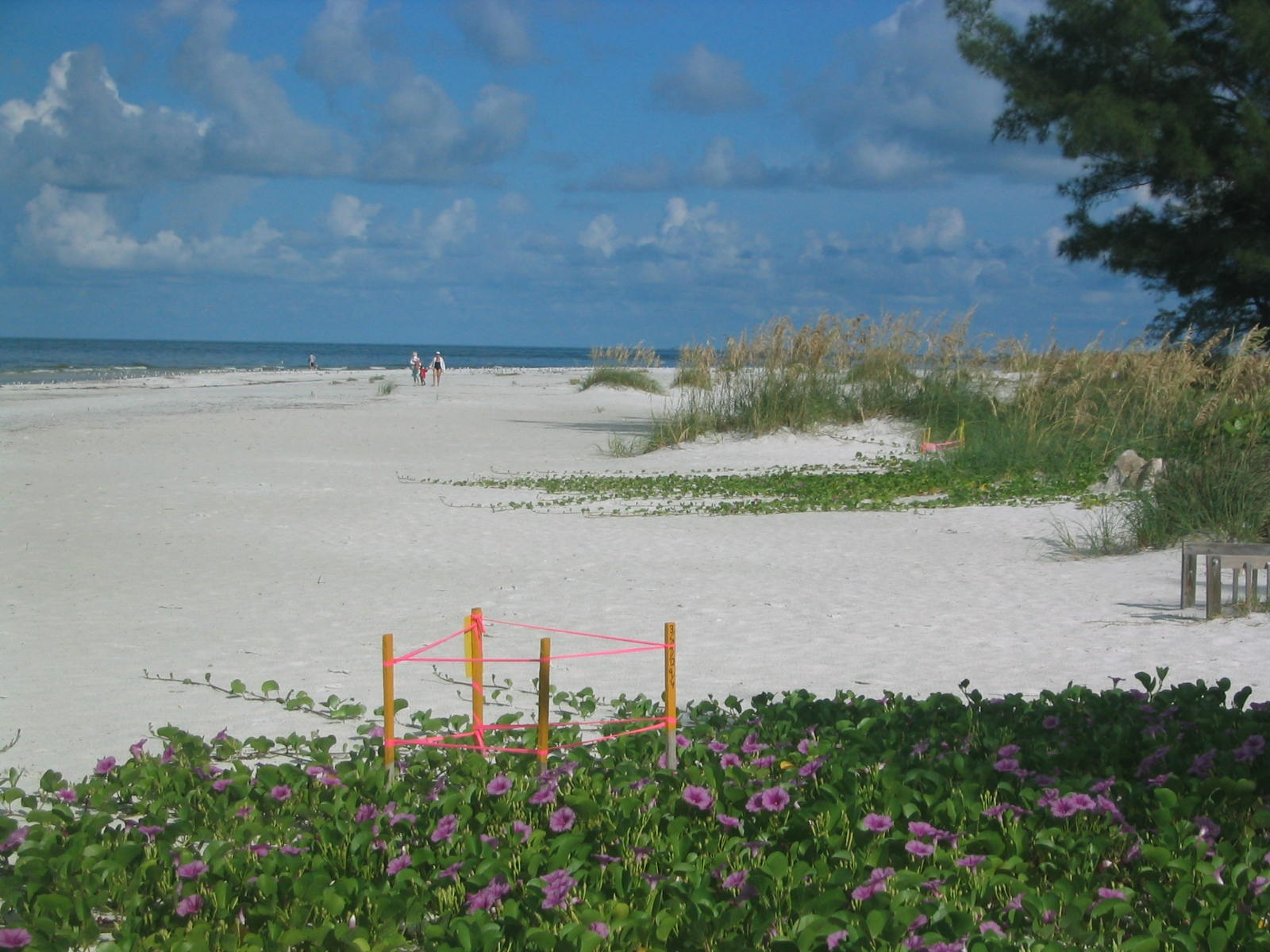 Sea Turtle nest staked for protection and observation by Turtle Watch on Anna Maria Island