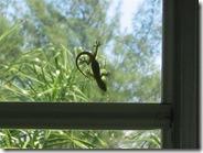 Anna Maria home gecko