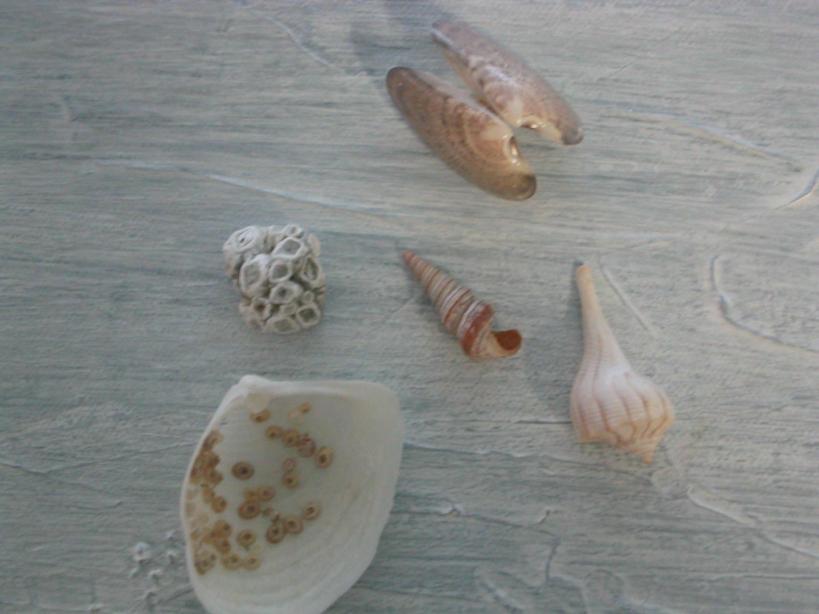 Shells on Anna Maria Island beaches