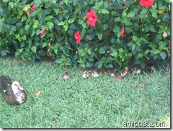 Duck and ducklings at Anna Maria Island