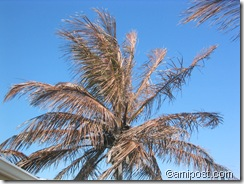 Cold-affected coconut palm