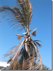 Cold damaged coconut palm