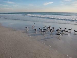 Gulls of Anna Maria Island Beach