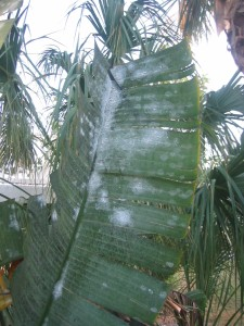 Whitefly infested frond