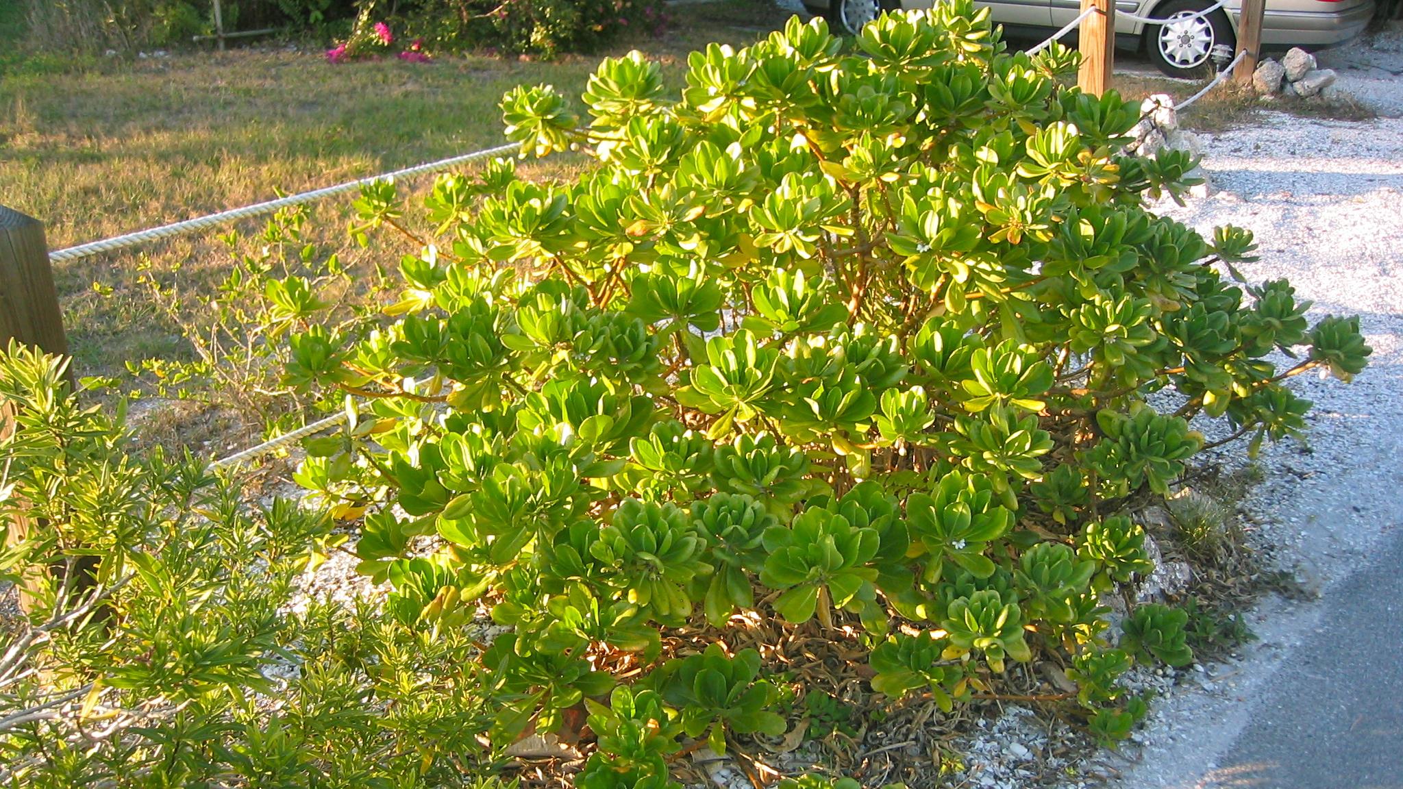Scaevola frutescens