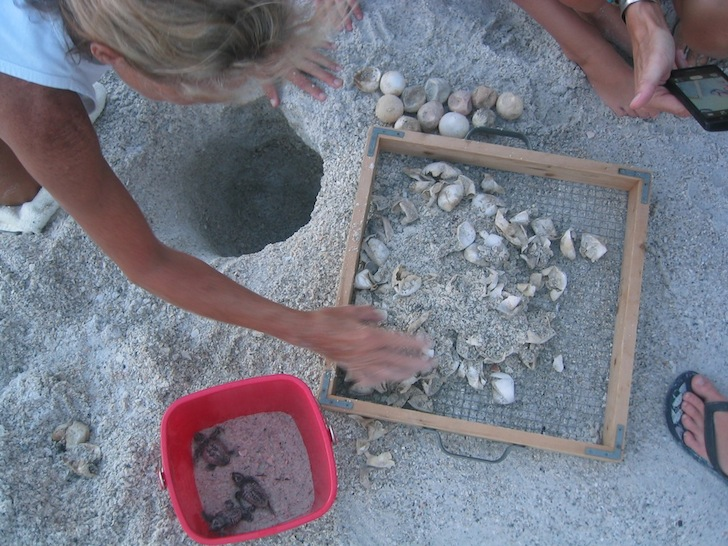 Excavating hatched turtle nest