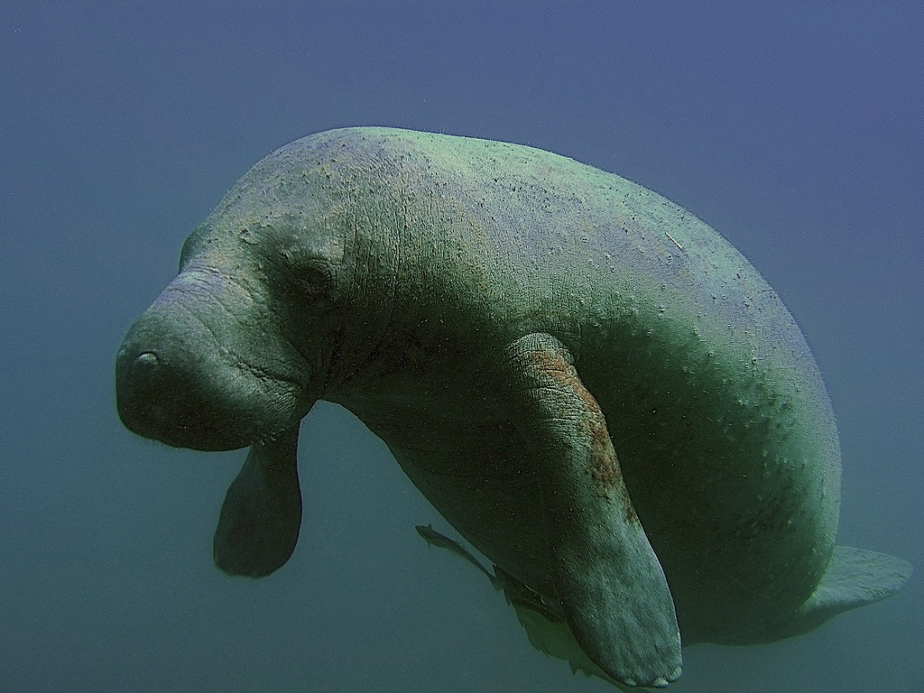 manatee by NOAA National Ocean Service