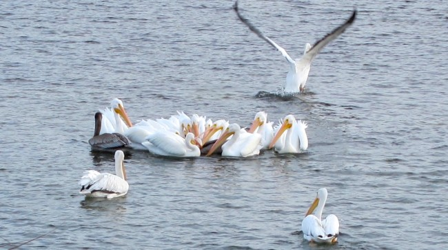 White Pelicans try to take a Brown Pelican's fish