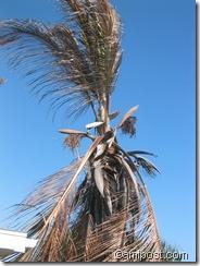 Cold damaged coconut palm