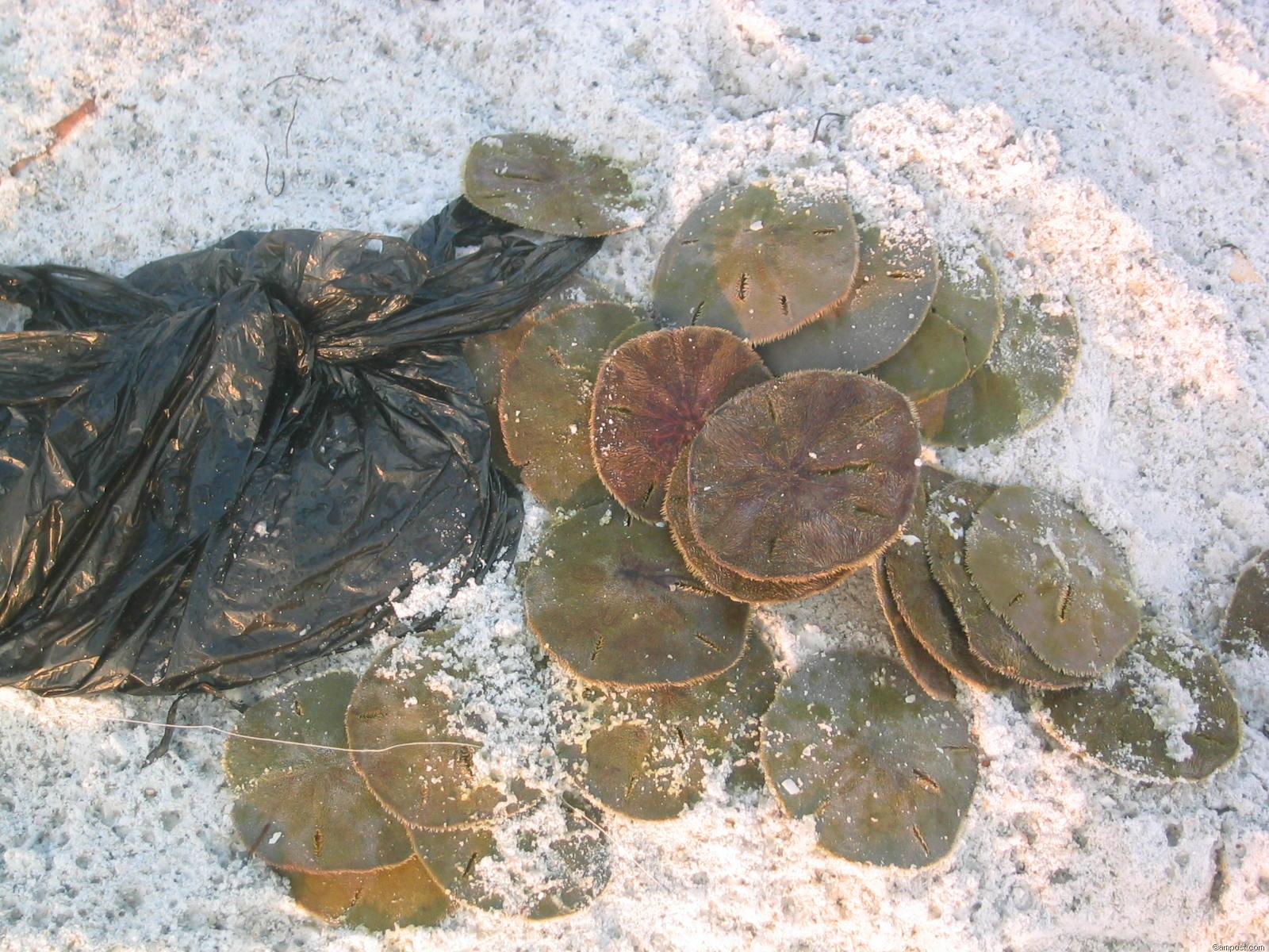 Illegally collected live Sand Dollars discarded on beach