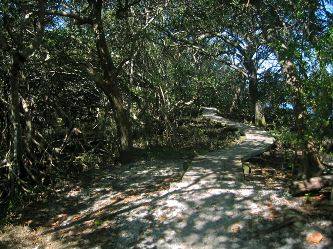 Beginning of the single-track mangrove forest trail