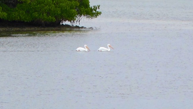 White Pelicans arrive for Christmas in Bimini Bay