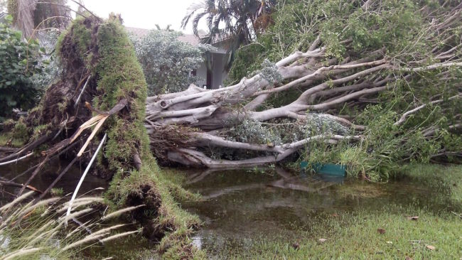 Ficus blown over by wind gust. Culverts did not drain.