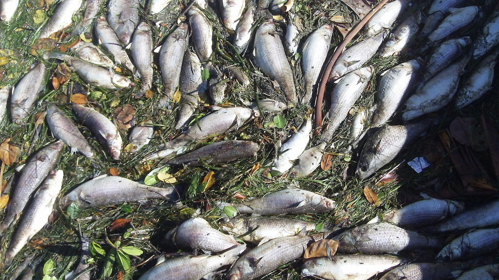 Red Tide fish kill December 2015