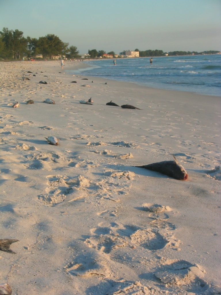 Red tide January 2013 fish kill on Anna Maria Island beach